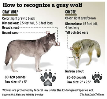 Gray Wolf vs Coyote Comparison